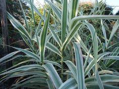 Arundo donax var. versicolor South Devon, All Plants, Seaside, Coastal, Plants, Beach, Coast