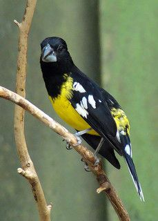 Spot-winged Grosbeak, Indian subcontinent & parts of SE Asia