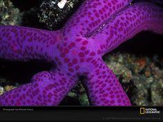 /purple-sea-star-henry