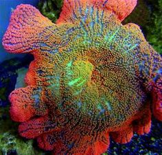 Image result for Rainbow Anemone