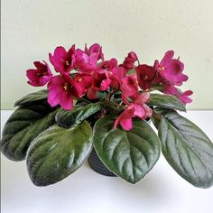 Jere's Simply Red hybridized by Jere Trigg. #jeressimplyred  #AVSA #africanviolet #indoorplant #houseplant #saintpaulia #senpolia #africanvioletlovers #fialka #africanvioletsocietyofamerica #flowers #bloom #fialki #flowerstagram #flowersofinstagram