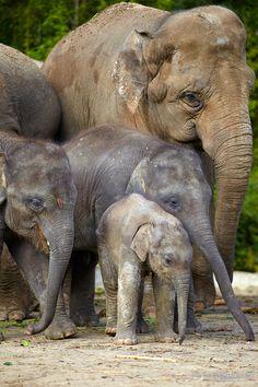 Save the elephants. All About Elephants, Elephants Never Forget, Save The Elephants, Baby Elephants, Baby Hippo, Asian Elephant, Elephant Love, Elephant Family, Elephant Nursery