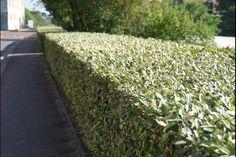 Olijfwilg, Zilverbes  De Elaeagnus ebbingei (Olijfwilg of Zilverbes) is een schitterende bladhoudende haagplant die goed tegen wind en zoute omstandigheden kan. Het is één van de weinige groenblijvende heesters die goed groeit aan de kust. De Olijfwilg bloeit in de herfst en krijgt dan witte bloemen.