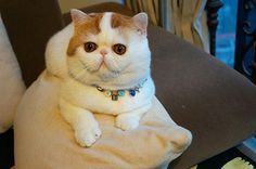 Meet Snoopy the Exotic Shorthair Cat Pics) Silly Cats, Cats And Kittens, Cute Cats, Funny Cat Memes, Funny Cats, Funny Cat Pictures, Cute Pictures, Snoopy Cat, Exotic Shorthair