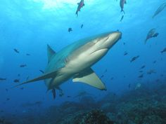 Sharks Don't Kill People. People Who Kill Sharks Kill People. http://www.seashepherd.org/commentary-and-editorials/2015/01/09/sharks-dont-kill-people-people-who-kill-sharks-kill-people-681 #SeaShepherd #defendconserveprotect #nosharkcull #NoWASharkCull #brucetherib