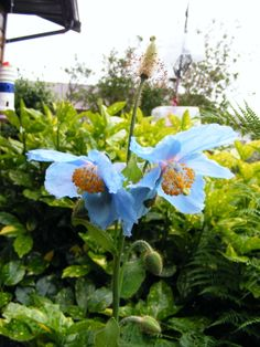 Himalayan blue poppies. They're so special, I've given them their own Pinterest board. Check it out! #bluepoppies #poppies