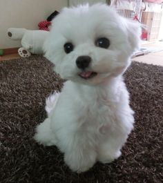 Maltese....what a cutie!