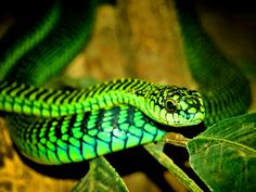 les-20-serpents-les-plus-venimeux-et-mortels-boomslang