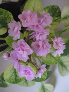 African Violet - Candy fountain. Standard trailer. Variegated
