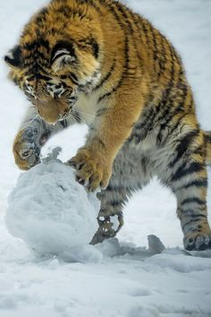 nice This picture is awesome! I absolutely love tigers, and what could be better than...