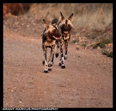 African wild dogs on the move in Madikwe Game Reserve, South Africa  by Grant Marcus Photography
