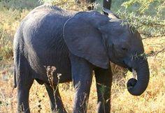 Elephant, Serengeti National Park, Tanzania