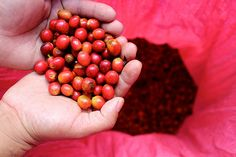 Cue Coffee Berries in Hands. Mozonte, Nicaragua  #Tonx #coffee #tonxdotorg #coffeecherries #farming #harvest #seasonal #Nicaragua #travel
