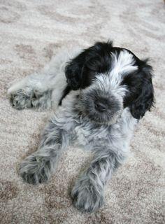 Drikus de Does. Schapendoespuppy van 9 weken. Dutch Sheepdog puppy