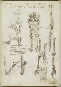 Leonardo da Vinci (Vinci 1452-Amboise 1519) - Recto: The bones of the arm and leg. Verso: The surface anatomy of the shoulder