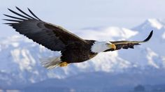 Types of Eagles - The Eagles are the most effective raptor found on planet earth and few of them are amongst the biggest extant types of eagles in the world. Types Of Eagles, The Eagles, Wings Like Eagles, Bald Eagles, Eagle Images, Eagle Pictures, Bird Pictures, Most Beautiful Animals, World's Most Beautiful