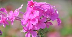 Phlox amplifolia JS® 'Pink Painting' op vasteplant.be