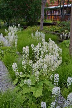Tiarella cordifolia and carex pensylvanica (both Native) - low maintenance shade ground covers, with Tiarella blooming in May, and providing nice fall color, Carex soft and airy flowing grass. Perennials Fabric, Full Sun Perennials, Shade Perennials, Fall Plants, Shade Plants, Garden Plants, Woodland Plants, Woodland Garden, Landscape Design