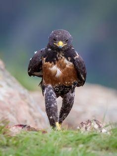 """龍國竣/リュウゴク on Twitter: """"クリント・ラルフ(Clint Ralph)による作品。南アフリカ共和国の写真家。南アフリカ共和国のジャイアンツキャッスル狩猟鳥獣保護区にて、アカクロノスリがまるで人間のように歩いている姿を撮影しました。アフリカのサバンナや草原に生息しており、黒い毛で覆われています。 https://t.co/RIm8eD81ac"""""""