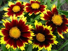 Big Bang Cosmic Eye Tickseed (Coreopsis x 'Cosmic Eye') blooms summer through fall; use shears to remove old flowers for more blooms. Full sun; water regularly in extreme heat. Grows to 16 to 20 inches tall, 12 to 24 inches wide. Zones 5 to 10; Monrovia