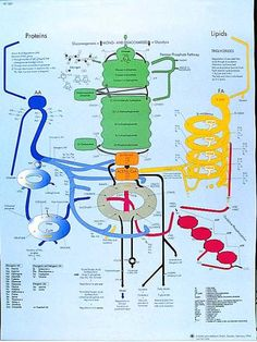 Chart for the human metabolic pathways of nutrients. (the simple version)