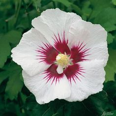 Full size picture of Rose Of Sharon 'Danica' ( Hibiscus ...