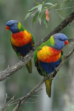Australian Rainbow Lorikeets              (You can buy handmade greeting cards with this photo for just $4.50 delivered. www.theshortcollection.com.au/Australian-Birds)