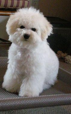 So cute #bichonfrise #pets http://www.nojigoji.com.au/