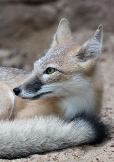 Swift Fox Portrait by Jack-13.deviantart.com on @deviantART