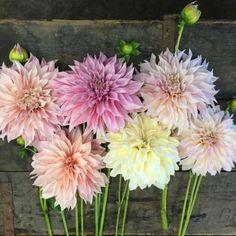 Dahlia Bulbs - Bridal Bouquet Dinnerplate Mix