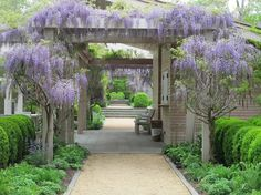 Wisteria: A Dangerous Beauty (Are You Tempted?) by Jeanne Rostaing - Gardenista