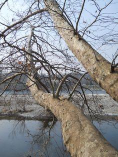 Alberi sul fiume Ticino