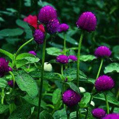 A fine romance Part Shade Flowers, Magenta Flowers, Plants That Love Shade, Shade Plants, Shade Landscaping, Outdoor Landscaping, Outdoor Gardens, Summer Garden, Garden Fun