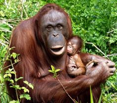 A baby orangutan has been born at the zoo in Paignton, Devon which keepers believe to be a girl