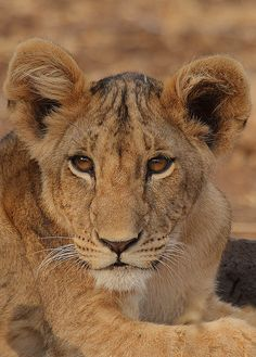 Lion cub portrait (Rainbirder)