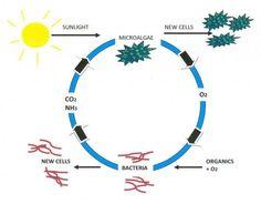 symbiotic relationship between bacteria and algae
