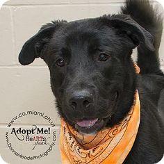 7/6 - 2 Y OLD BOY - Troy, OH - Labrador Retriever Mix. Meet Dallas, a dog for adoption. http://www.adoptapet.com/pet/15883287-troy-ohio-labrador-retriever-mix