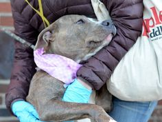 SAFE --- Brooklyn Center  SOPHIA - A1020492 **SAFER: AVERAGE HOME**  FEMALE, Y BRINDLE / WHITE, PIT BULL MIX, 3 yrs STRAY - STRAY WAIT, NO HOLD Reason STRAY Intake condition EXAM REQ Intake Date 11/13/2014, From NY 11213, DueOut Date 11/16/2014, Main Thread: https://www.facebook.com/photo.php?fbid=906525929360287