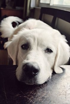This is an English Cream Golden Retriever not a Lab.... Lovely black pigment