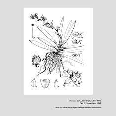 Ornithocephalus cryptanthus
