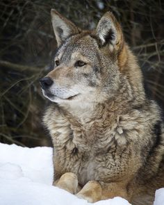 ☀Coyote by shootingthedog