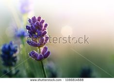 Lavender flower with morning dew in the rising sun . Purple blooming Lavender with natural bokeh lights from water drops on the grass close-up macro Bokeh Lights, Morning Dew, Rising Sun, Lavender Flowers, Water Drops, Grass, Sunrise, Bloom, Purple