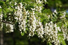 Kuva: Valeakaasia kukkii - puu kukkapuu kukkiva kukkia valkoinen ...