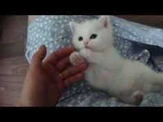How To Draw Real Cute Animals Cute Baby Animals Playing Videos Super Cute Kittens, Cutest Kittens Ever, Cute Cats And Kittens, I Love Cats, Kitty Cats, Adorable Kittens, Grey Kitten, Cute Kitten Gif, White Kittens