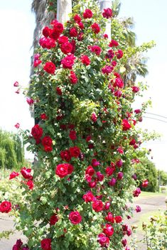With its tendency to form garlands, it takes little effort to train, tie up or spread out its long, very fast growing, supple canes. Once achieved, this amazing climber keeps on growing & producing clusters of medium sized, fully petalled blooms of a cherry-red colour. The...