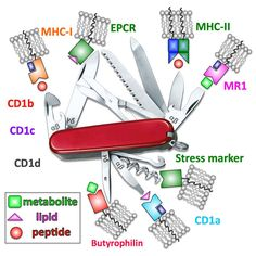 The T cell antigen receptor: the Swiss army knife of the immune system http://onlinelibrary.wiley.com/enhanced/doi/10.1111/cei.12622/?utm_content=buffer016fd&utm_medium=social&utm_source=pinterest.com&utm_campaign=buffer #immunology #openaccess #journal #science