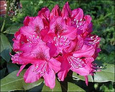 How+to+Grow+and+Care+for+Rhododendrons