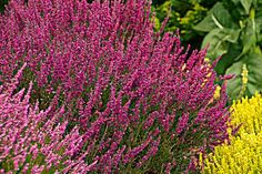 Slope Colonizers   Plants that prevent erosion and don't need watering or much other care     Scotch heather  (Calluna vulgaris)    Zones 5–7, $7.75; diggingdog.com