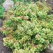 cotoneaster dammeri radicans unterpflanzung liguster. Black Bedroom Furniture Sets. Home Design Ideas