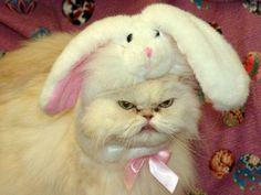 Watch out, grumpy cat, here's the angry cat, and she's got a rabbit on her head. I Love Cats, Cute Cats, Funny Cats, Funny Animals, Cute Animals, Grumpy Cat, Crazy Cat Lady, Crazy Cats, Bad Cats
